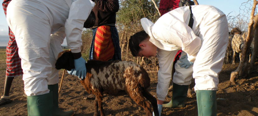 Researchers examining goat as part of the study