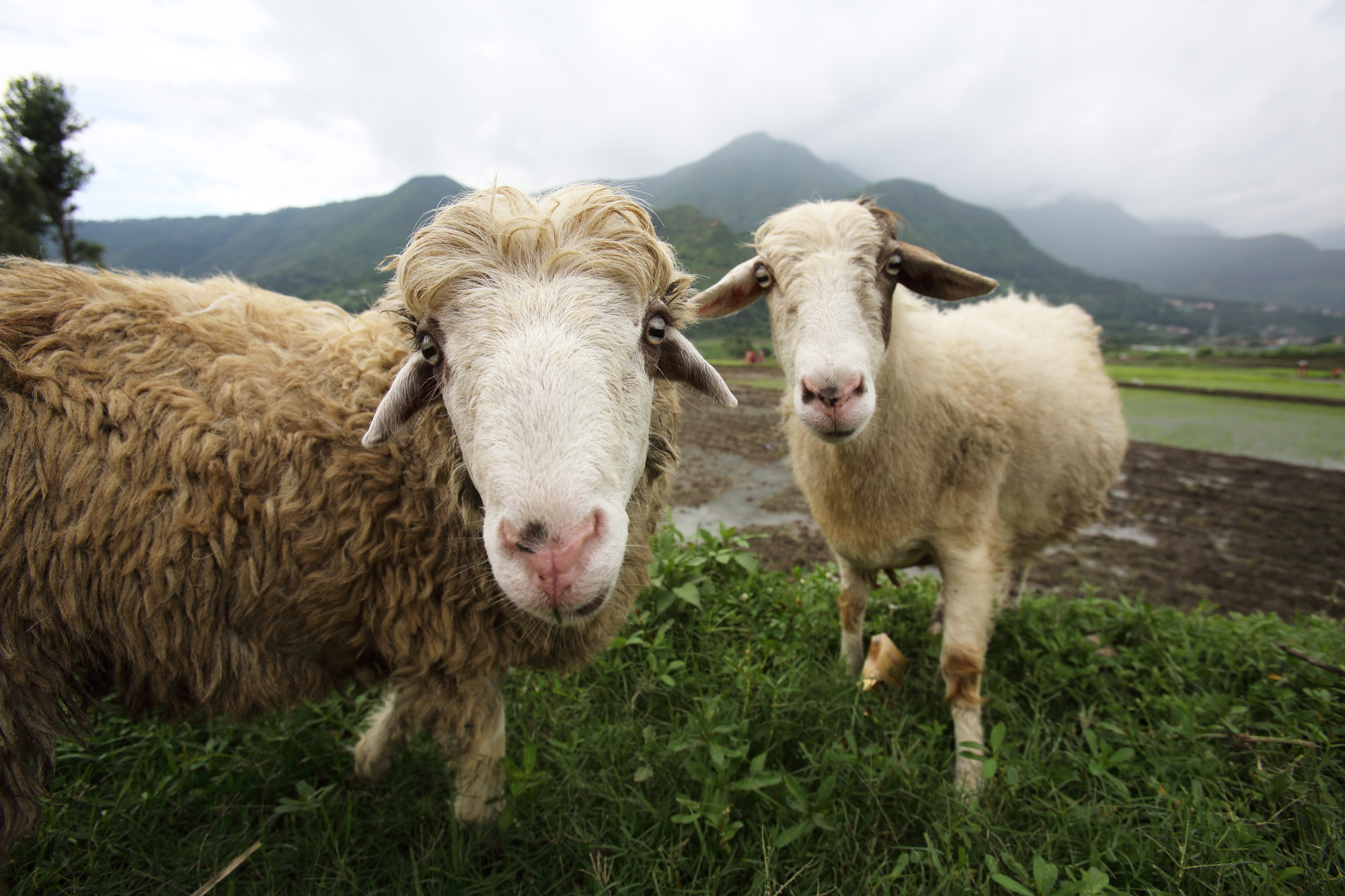 Sheep, Kirtipur, Kathmandu Valley, Nepal. Photo: J. Holmes (IWMI)