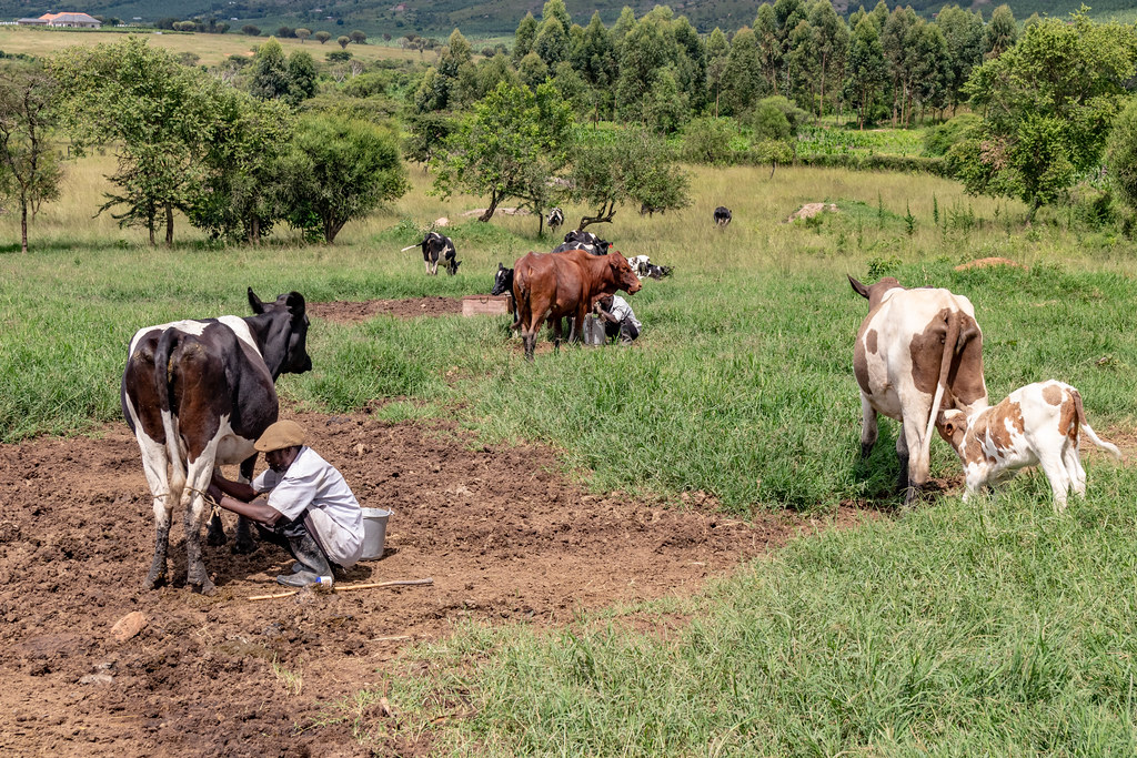 Dairy cattle in Isingiro District, Uganda, part of the ILRI Program for Climate-Smart Livestock systems (PCSL). Photo: S. Leitner (ILRI)