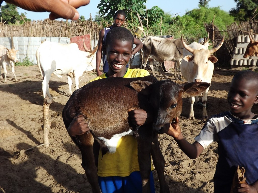 Boy with improved cattle-breed calf in Senegal. These breeds contribute to improved food and nutritional security. Photo credit: ILRI/Karen Marshall)