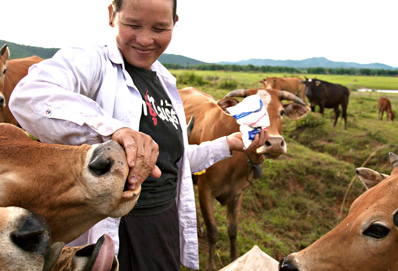 Laos Cattle Farmer
