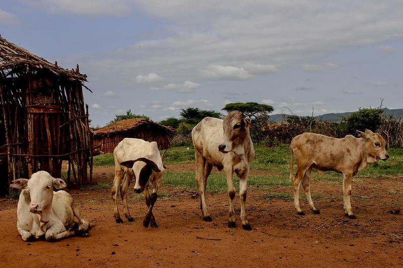Boran Cattle in Yabello, Ethiopia. Common standards are needed to present livestock data in a consistent manner. Photo: C. Hanotte (ILRI)