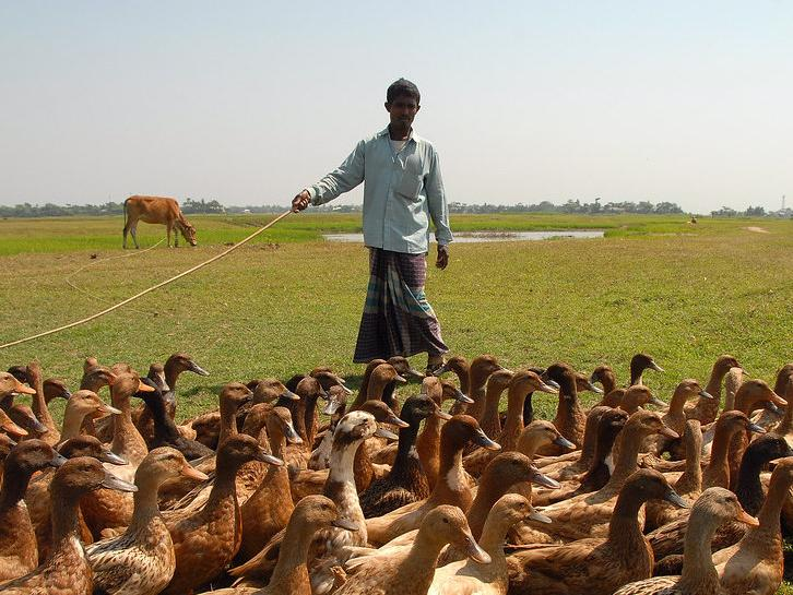 A livestock keeper in Bangladesh tends to his ducks. SEBI-Livestock will continue to mobilise data and evidence to support more effective livestock investments in low-and middle-income countries. Photo: WorldFish.